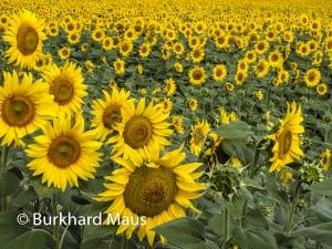 Sonnenblumen, © Burkhard Maus